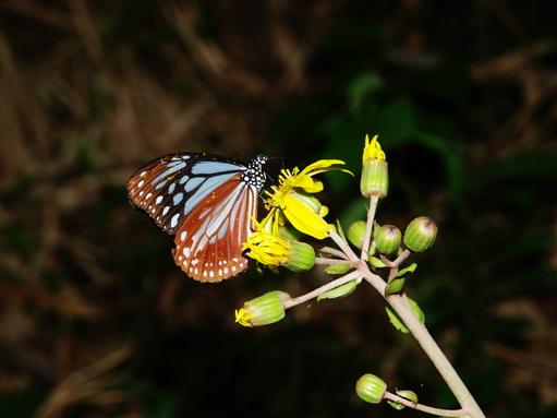 懲りずにトカラに行きました(4) -蝶-