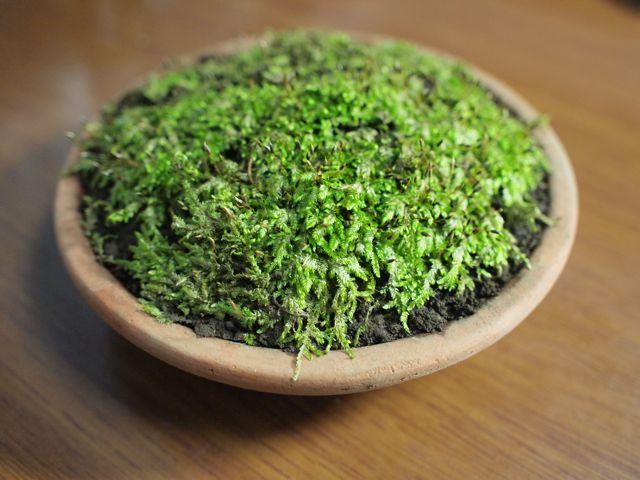 苔を育ててみた。