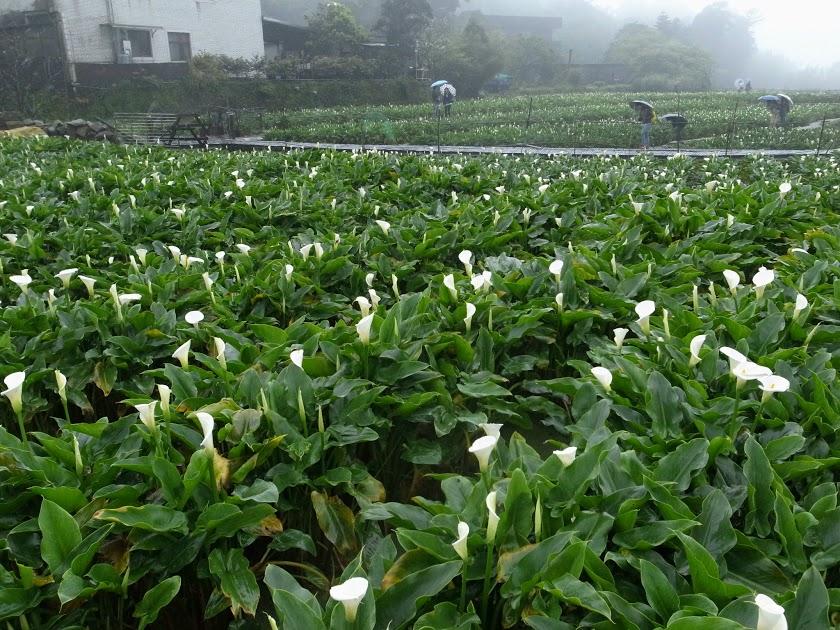 4月〜5月の台湾は海芋(カラー)の季節です