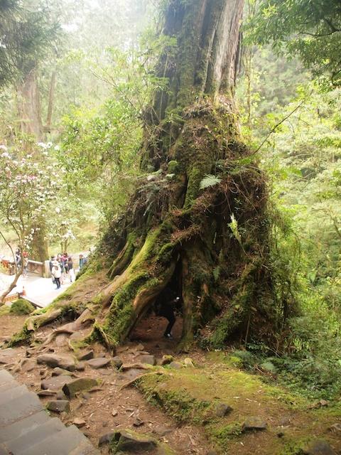 阿里山の巨樹は、翌日。